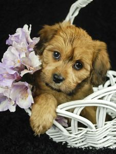 Cute Brown Puppy Royalty Free Stock Images