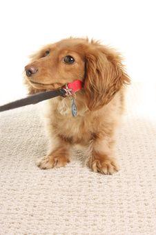 Free Dachshund Puppy Stock Image - 18927471