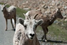 Free Mountain Goats Royalty Free Stock Photos - 18927828