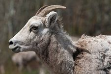 Free Mountain Goat Stock Photo - 18927860