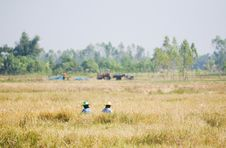 Free Two Farmers Harvesting Rice By Hand Royalty Free Stock Image - 18928096