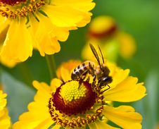 Free Little Bee On Yellow Flower Stock Photos - 18928853