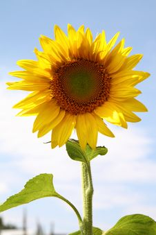 Free Sunflower Stock Photography - 18929652