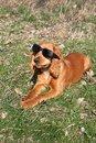 Free English Cocker Spaniel Dog Royalty Free Stock Photos - 18938448