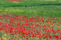 Free Red Poppies Royalty Free Stock Image - 18939436