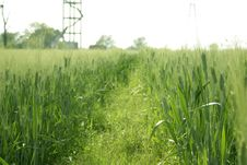Free Cultivation Of Wheat In A Field Stock Photo - 18930130