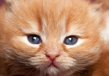 Portrait Kitten With Blue Eyes Royalty Free Stock Photo