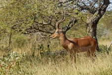 Free Impala Ram Royalty Free Stock Photos - 18931438