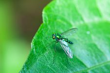 Free Stilt Legged Flies Royalty Free Stock Images - 18932069