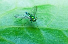 Free Stilt Legged Flies Royalty Free Stock Photography - 18932117