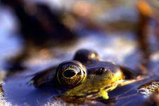 Free Green Frog Royalty Free Stock Photos - 18932208