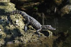 Free American Alligator (juvenile) Royalty Free Stock Photography - 18932267
