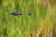 Free American Alligator Royalty Free Stock Photo - 18932275