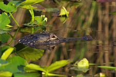 Free American Alligator Stock Image - 18932281
