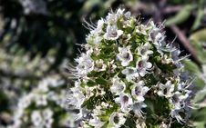 Free Echium Giganteum Stock Photo - 18933560