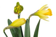 Free Three Buds Of Narcissus Royalty Free Stock Images - 18934019