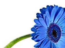 Close Up Abstract Of A Blue Daisy Gerbera Royalty Free Stock Images