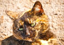 Free Brown Cat Portrait Royalty Free Stock Images - 18938209