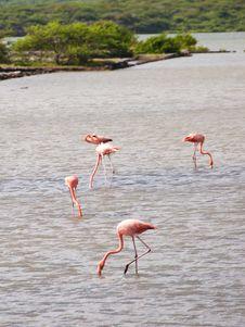 Free Flamingos Royalty Free Stock Photo - 18938255