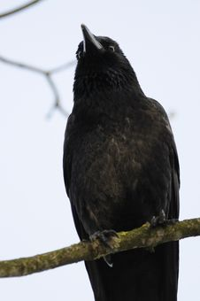Free Carrion Crow (Corvus Corone) Royalty Free Stock Image - 18938816