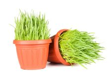 Free Green Grass In A Pot Isolated On A White Royalty Free Stock Photography - 18939007