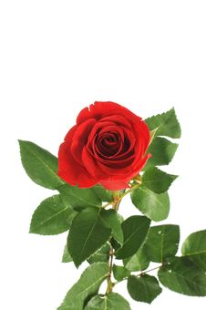Red Rose Isolated On White Royalty Free Stock Photography