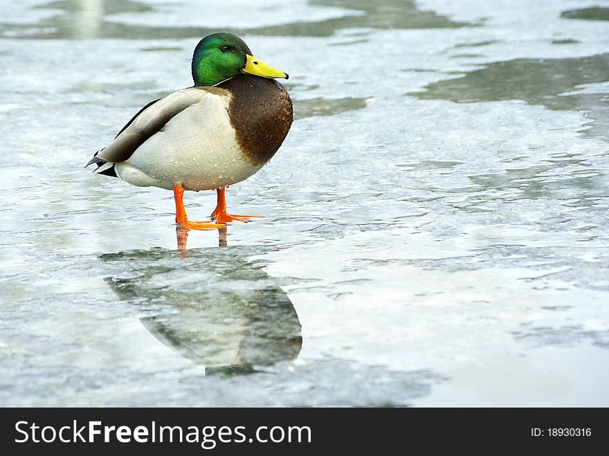Duck, mallard male