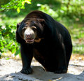Free Black Bear Standing Stock Photo - 18940380