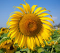 Free Sun Flower Royalty Free Stock Image - 18940566