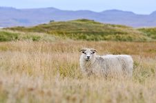 Free Sheep On Iceland Royalty Free Stock Photography - 18940747