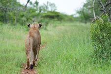 Free Lion On The Hunt Stock Photography - 18940752