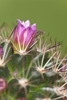 Free Blossoming Cactus Stock Image - 18941331
