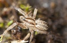 Free Young Wolf Spider Stock Image - 18941661