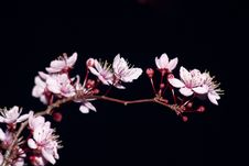 Free Blooming Fruit Tree Royalty Free Stock Images - 18943129