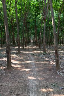 Rubber Plantation 2 Royalty Free Stock Images