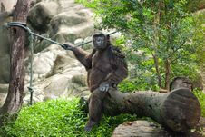 Free Chimpanzee Royalty Free Stock Photo - 18944945