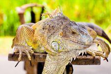 Free Iguana Besar Royalty Free Stock Image - 18946266