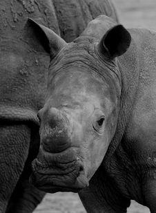 White Rhino Calf Stock Photo