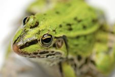 Free Green Frog Royalty Free Stock Photography - 18947417