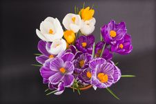 Free Crocus Royalty Free Stock Photography - 18947457
