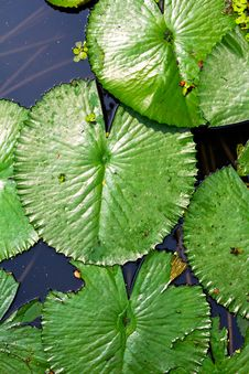 Free Lotus Leaf Stock Photo - 18948210