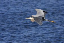Free Great Blue Heron Flying Royalty Free Stock Photos - 18949268