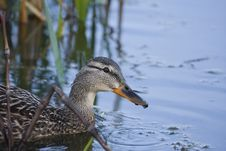 Free Female Mallard Swimming Royalty Free Stock Image - 18949286