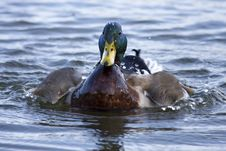 Free Colorful Mallard Swimming Royalty Free Stock Photos - 18949298