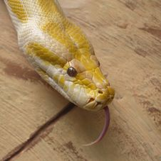 Free Golden Albino Python Sticking Tongue Royalty Free Stock Photo - 18949995