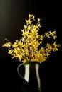 Free Forsythia Flower Royalty Free Stock Image - 18955036