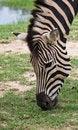 Free Zebra Eating Grass Royalty Free Stock Photos - 18955408