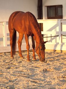 Red Horse In  Paddock Stock Images