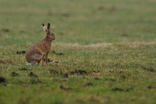 Free Sitting Hare Royalty Free Stock Photos - 18950618