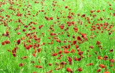 Free Poppies Royalty Free Stock Photography - 18951017